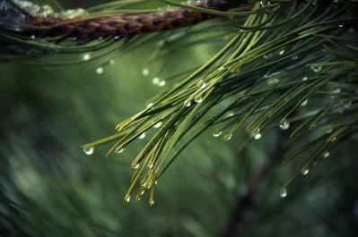 nature-tree-green-pine.jpg